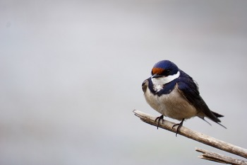 white-throated-swallow-1221890_1280.jpg